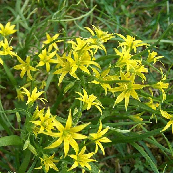 гусиный лук весной на полянке даже в городском парке распускаются маленькие жёлтые цветочки на тонком стебельке. называют это растение – гусиный лук. почему говорят, что гуси обожают лакомиться