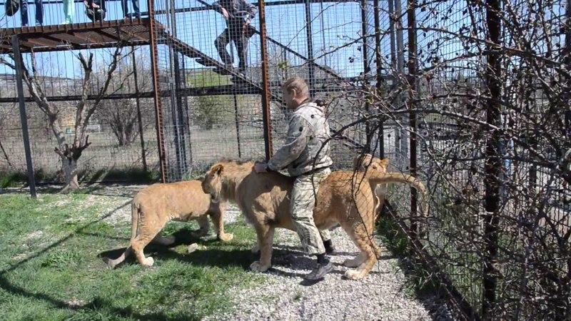 В вольере с прайдом льва Олежки Тестирование львов перед выпуском в Саванну Тайган Крым