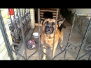Nu_ochen_zloj_pes_1-Well__very_angry_dog_(MosCatalogue).mp4