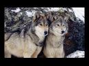 Животный мир. Ум зверя. Свиньи, волки и вороны.