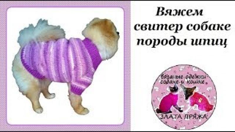 Вяжем свитер собаке породы шпиц