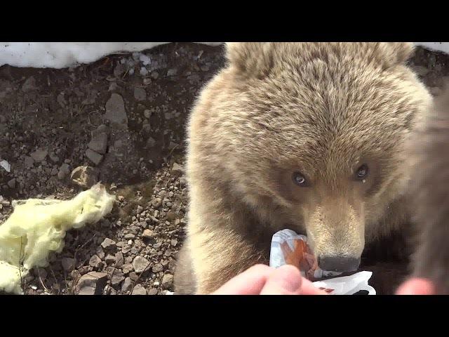 медведица пришла в гости покушать-9,1.Камчатка,Россия(bear came to visit out -9,1.Kamchatka, Russia)