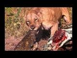 3 Lion Bites Crocodile Madness to Save the Zebras lucky Lions vs Baboon , Giraffe , Buffalo