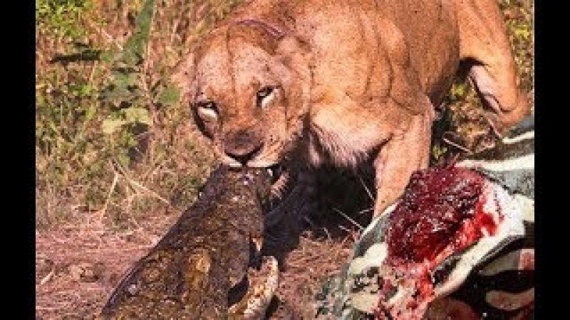 3 Lion Bites Crocodile Madness to Save the Zebras lucky | Lions vs Baboon , Giraffe , Buffalo
