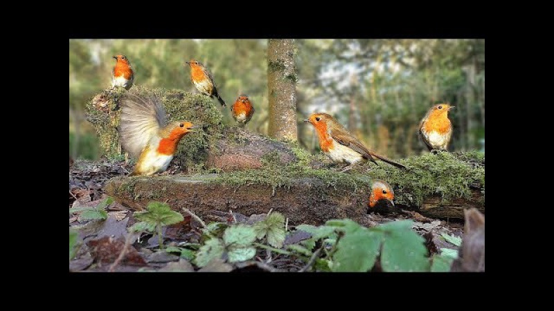 Videos for Cats to Watch - Robin Bird Frenzy and Other Beautiful Birds