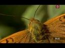 Бабочки. Британская страсть.