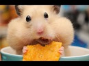 Funny Hamsters Videos Compilation Cute And Funniest Hamster
