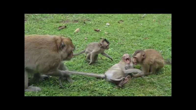 Baby Monkeys Charles Attack With Big Monkeys ,he's so funny and cute! , part 184