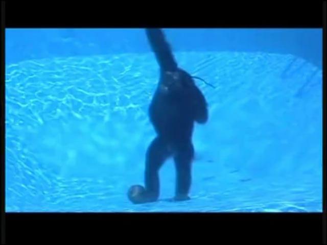 Diving Behavior in Common Chimpanzees Pan troglodytes Renato Bender Nicole Bender