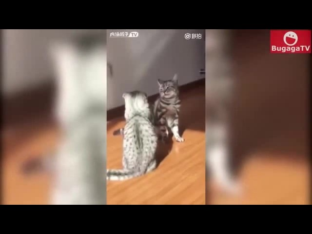 Fights cats