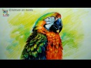 How to Draw and Shade A COLORFUL CATALINA MACAW With Color Pencils