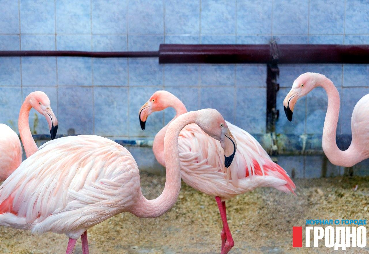 Картинки по запросу гродненский зоопарк розовый фламинго