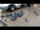 Голуби купаются на Прощенное воскресенье