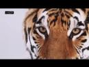 Он ест медведей и носит таинственный знак на лбу — Тигр.