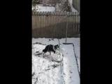 Собака пытается слепить снеговика