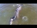 Косатки убивают молодого гренландского кита.