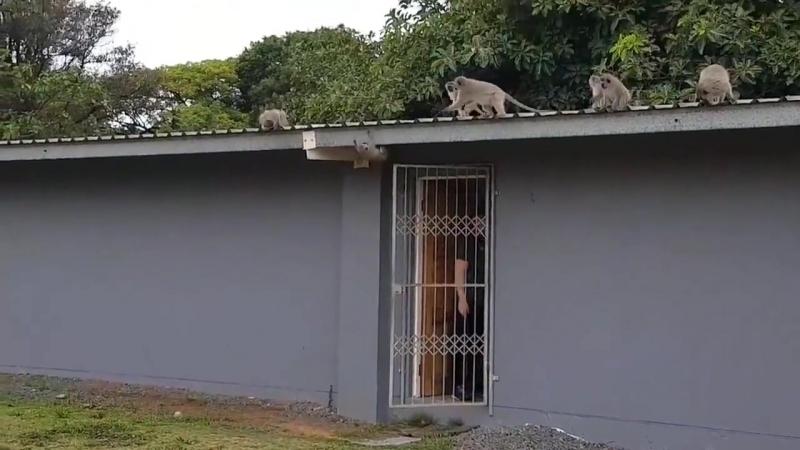 Маленькие обезьянки встречают товарища
