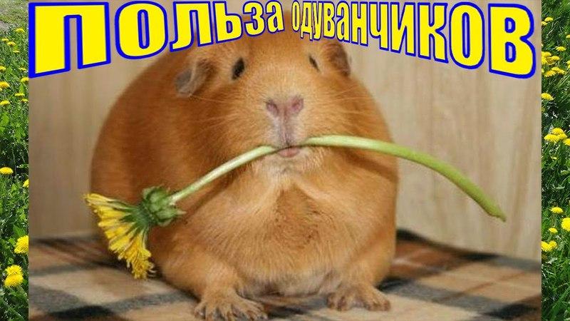 Польза одуванчиков свинкам /можно ли давать морским свинкам одуванчики/Морские свинки и одуванчики