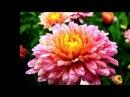 Выращивание хризантем. Бизнес идея