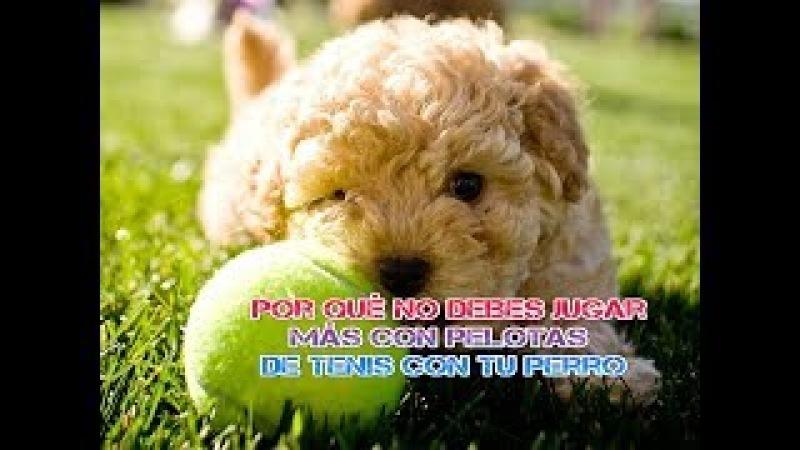 Por qué no debes jugar más con pelotas de tenis con tu perro