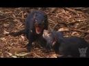 Крики и драки. Тасманский дьявол. Тасманские дьяволы. Животные №75