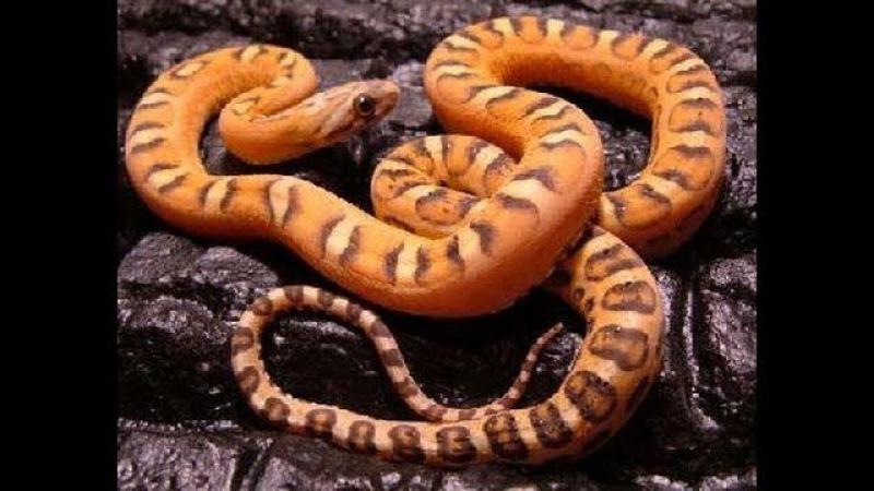 Snake Bytes TV - Scaleless Snakes and Snake Bites : SnakeBytesTV