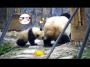 Panda Mommy's Leg That Tasty iPanda