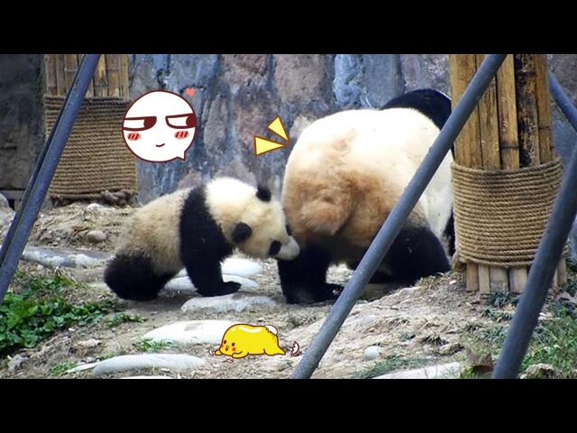 Panda Mommys Leg That Tasty | iPanda