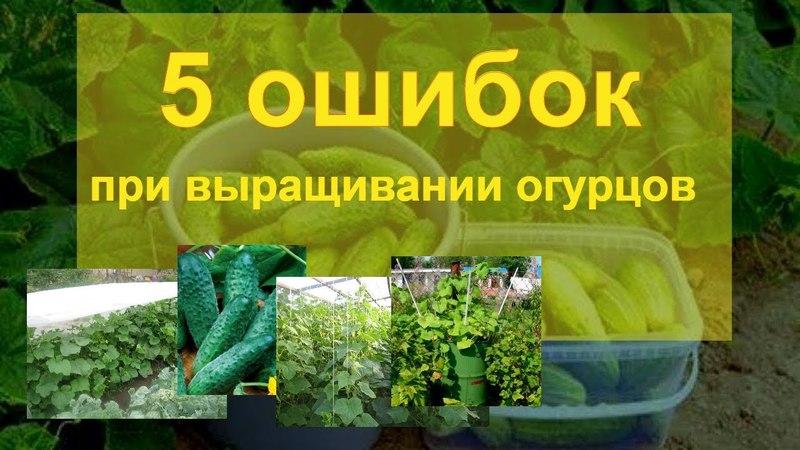 5 ошибок при выращивании огурцов