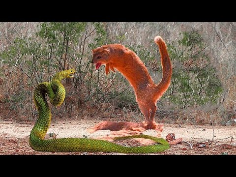 Chồn SÓC Tử Chiến Rắn Hổ Mang Chúa Ai Thắng - Incredible Giant Snake Attack Mongoose Squirrel Fight