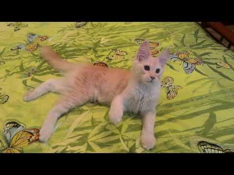 Кот кличка Феликс 3,5 месяца продается. Питомник Acadia Maine г. Самара