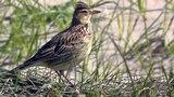 Skylark Birds Singing at St Gothian Sands in Cornwall