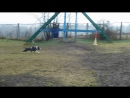 Тренинг по защитному разделу: американский стаффордширский терьер Импала Шевроле Шоу Ассорти'К (3)
