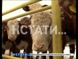 Смесь английского с нижегородским - мраморную говядину начали производить в нижегородской области.