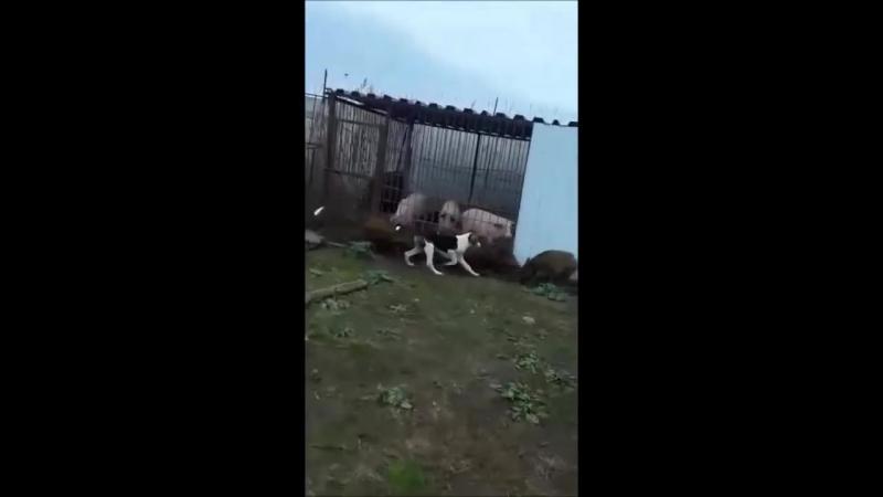 Охота на кабана с гончими.