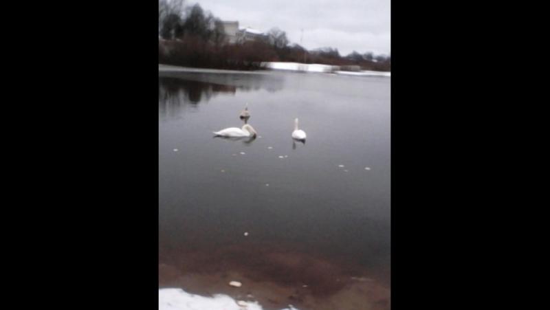 Лебеди прилетели в Усвяты
