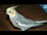 Попугай повторяет рингтон Iphone