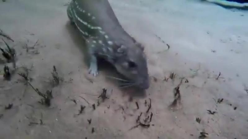 Paca común Cuniculus paca nadando en profundidad