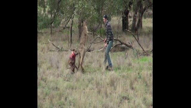 Kangaroo gets rekt'd