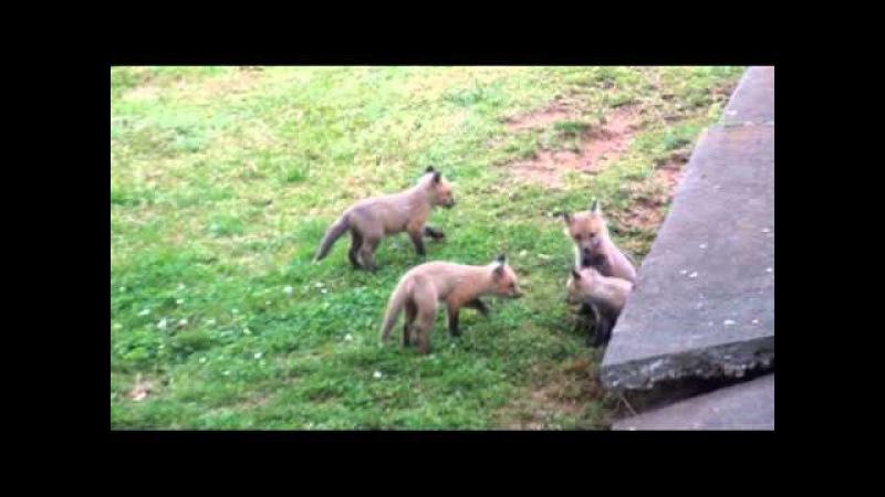The Neighborhood Red Fox and Her Kits
