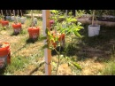Высокорослые помидоры / Индетерминантные томаты / Пасынкование / Формирование куста