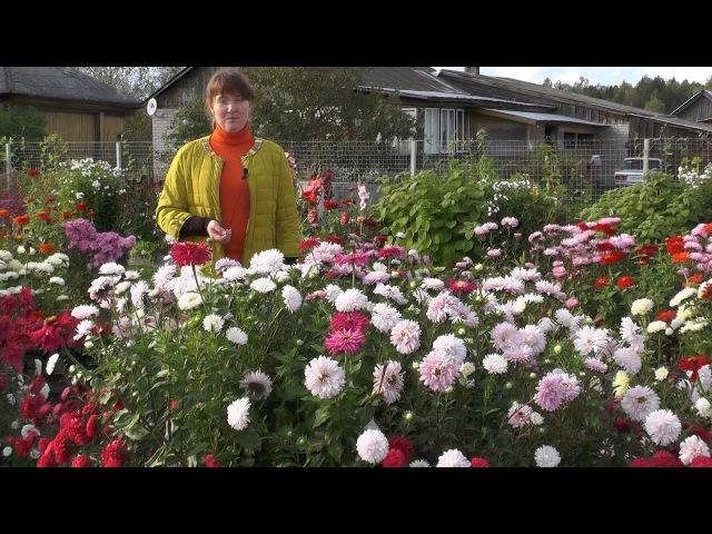 Астры однолетние выращивание от посева до цветения