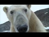 Polar Bear destroys spy cam - Polar Bear Spy On The Ice - BBC Earth