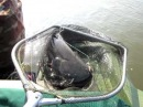 Cat fish Рыбалка Сом огромный Астрахань Волга Август 2010