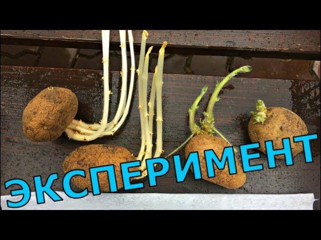 СПОСОБЫ ПРОРАЩИВАНИЯ КАРТОФЕЛЯ СРАВНЕНИЕ УРОЖАЙНОСТИ Эксперимент от ростков до урожая
