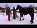 Подготовка к заездке в русскую упряжь молодой лошади