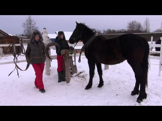 Подготовка к заездке в русскую упряжь молодой лошади.