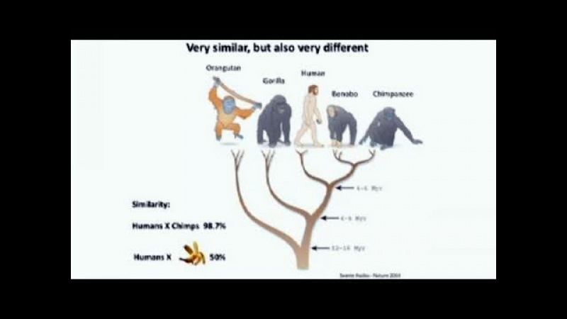 Comparisons of Human and Ape Stem Cells • Alysson Muotri