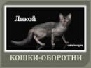 Новая порода кошек -ЛИКОЙ. ✴Кошка-оборотень✴cat werewolf/Lykoi cats breed