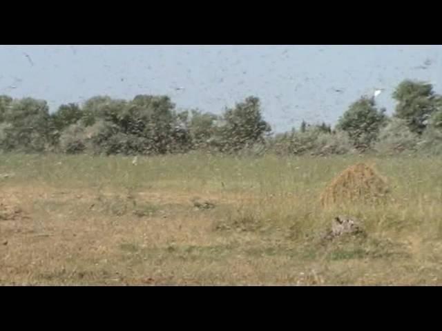 Саранча Астрахань Нашествие саранчи